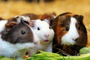 Hausmeerschweinchen Daum 49