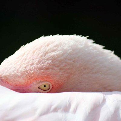 Rosa Flamingo Daum 59