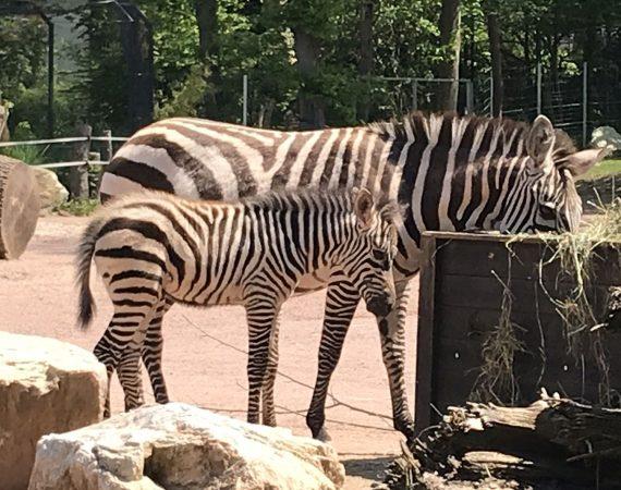 img 5969 Zebra Fohlen Ausschnitt