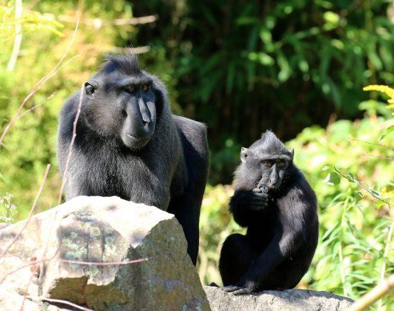 Schopfmakake Zoo Vivarium Darmstadt 2019.09.21 6