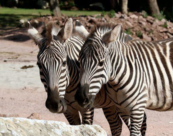 Boemzebra Zoo Vivarium Darmstadt 2019.07.10 18
