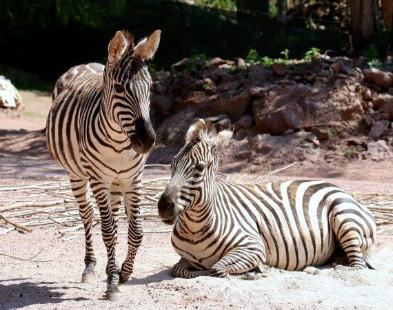 Boemzebra Zoo Vivarium Darmstadt 2019.07.10 6